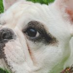 Why does my frenchie have a dry nose?