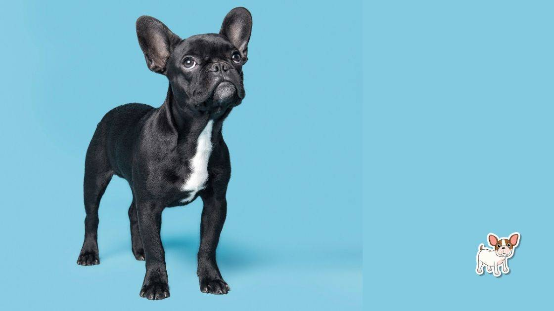 French Bulldog Boys Name Generator